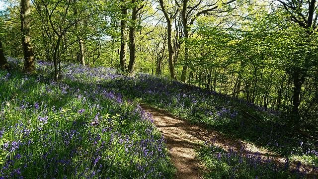Helmeth Hill Bluebells