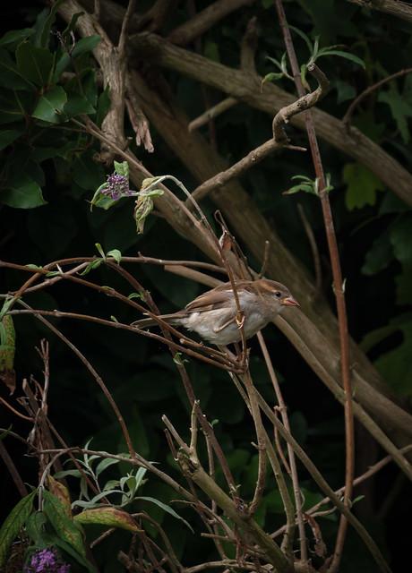 house sparrow ready snd waiting