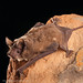 Mexican Free-tailed Bat - Photo (c) Bureau  of Land Management, some rights reserved (CC BY)