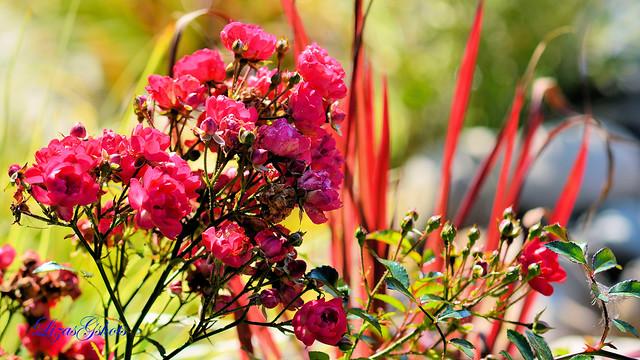 Dark Pink Fairy Rose