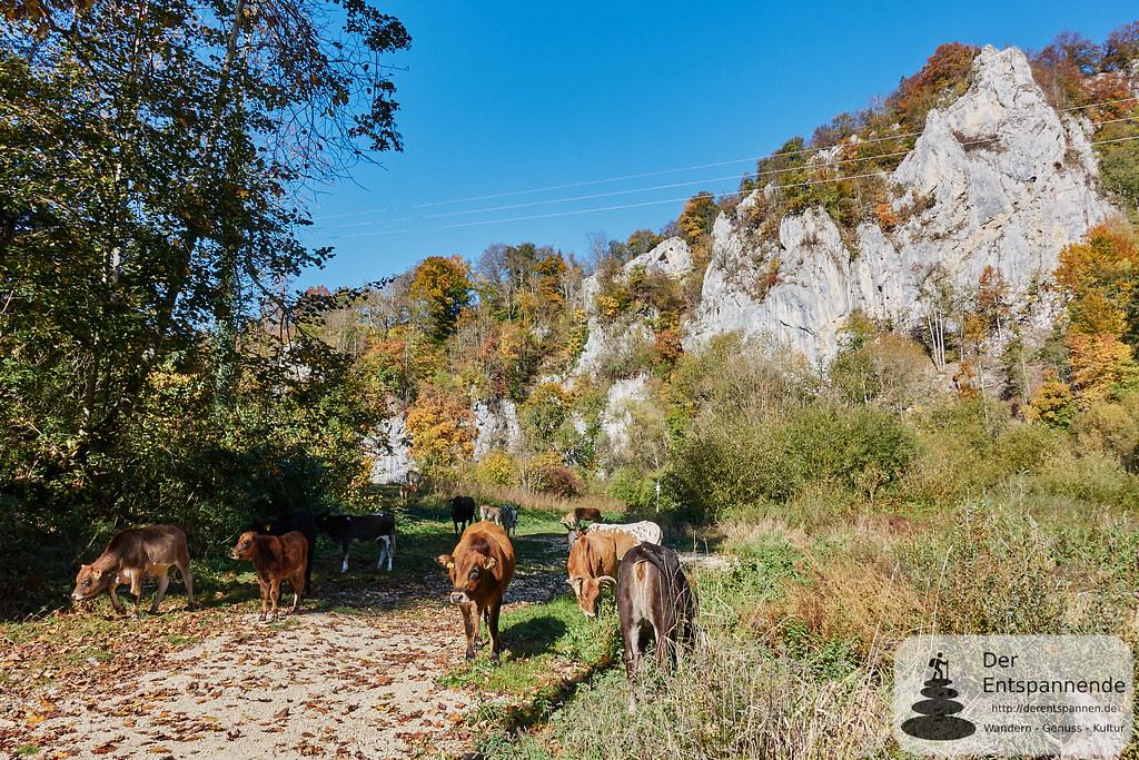 Im Donautal zum Jägerhaus - Kühe auf dem Weg
