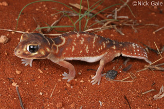 Smooth Knob-tailed Gecko (Nephrurus levis) | by Nick Gale