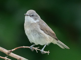Lesser whitethroat / Klappergrasmücke  (Sylvia curruca)