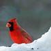 Cardinal in the snow by angelbrd59@yahoo.com