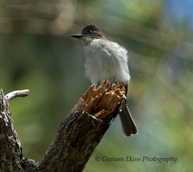Loggerhead Kingbird, Zapoten, Dominican Republic,