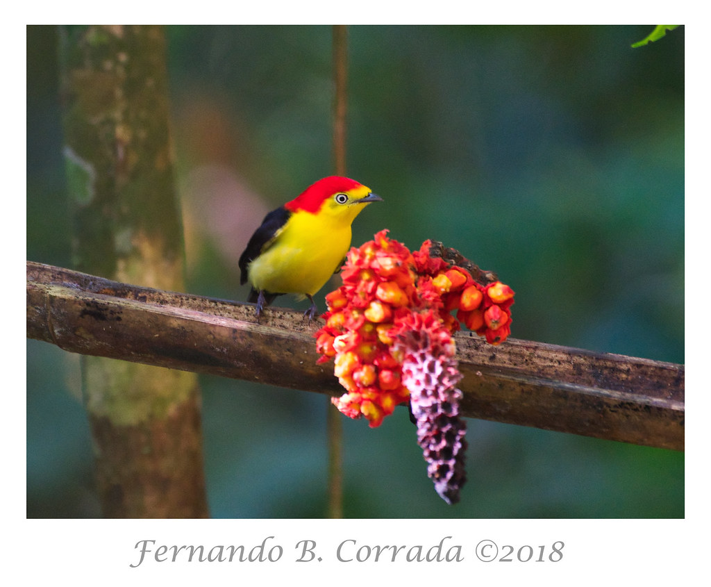 Wire-tailed Manakin (1097)
