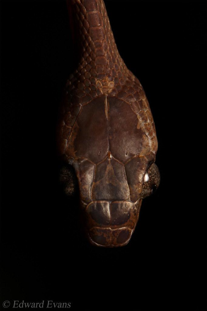 Blunt headed tree snake (Imantodes cenchoa)