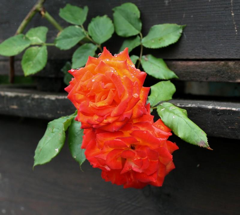 Обои Капли, Боке, Bokeh, Drops, Оранжевые розы, Orange roses картинки на рабочий стол, раздел цветы - скачать