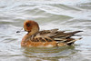 Wigeon ♂, winter plumage. by Vitaly Giragosov