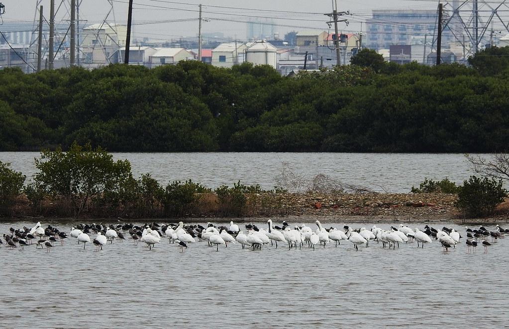 永安濕地不同水域高度吸引各種水鳥來此棲息,圖片來源:高雄鳥會