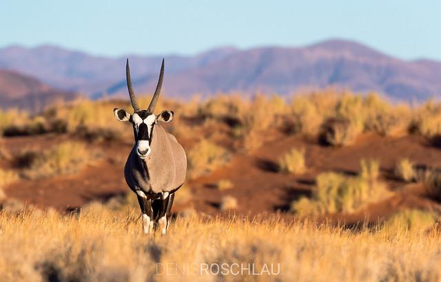 Namibrand Gemsbok