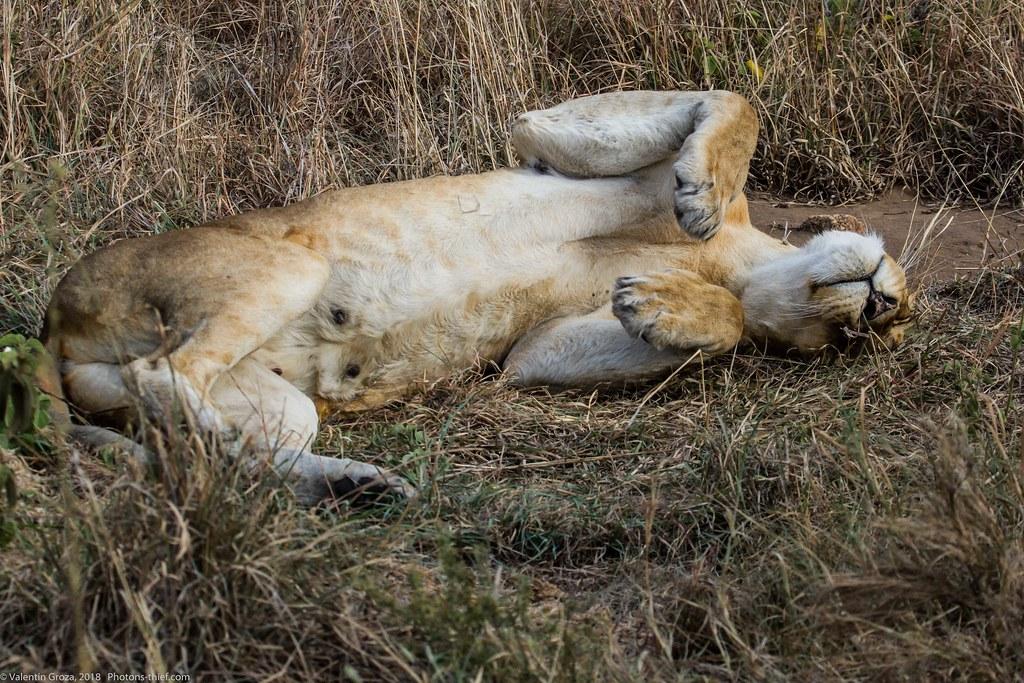 Leoaica cu pui_septembrie18_Serengeti_06