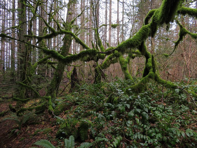 the mossy madness of wahkeena