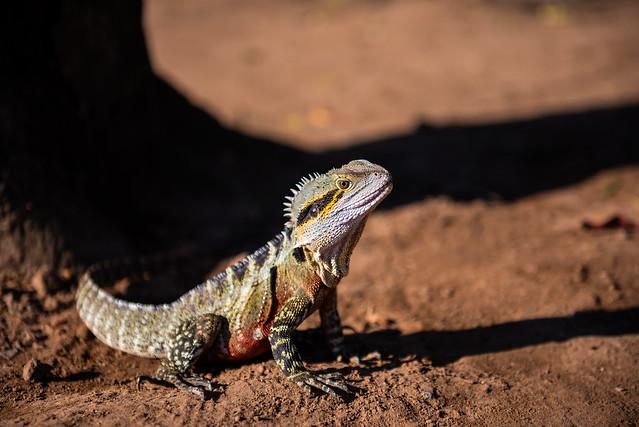 Brisbane - Iguana-8