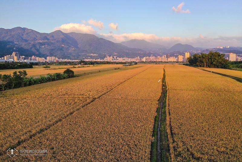 關渡平原稻田