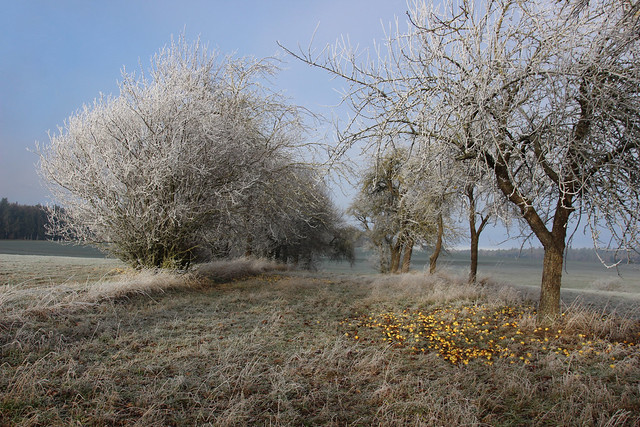 frosty appeltrees  IMG_3828