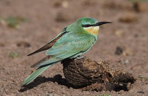 bluecheekedbeeeater botswana meropspersicus thagaledam