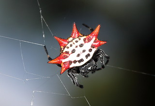 Spiny-backed orb weaver | by marcoli789