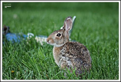 rabbit bunny animals wisconsin canon wildlife foxlake picmonkey
