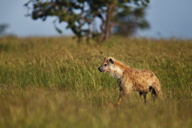 Next: Hyena on the Lookout