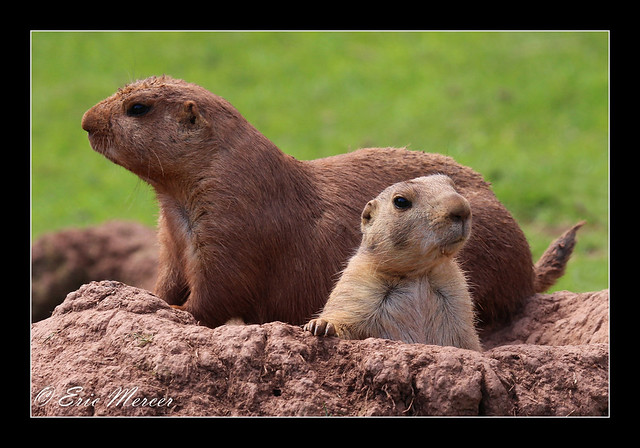 Black-tailed Praire Marmots