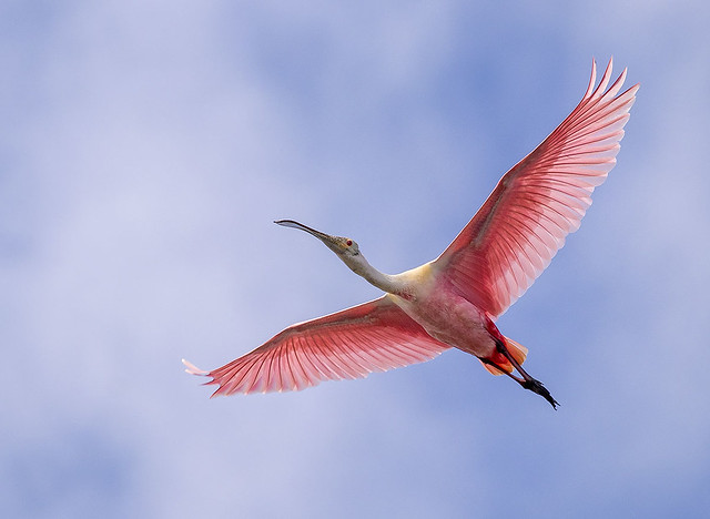 Roseate Spoonbill (Platalea ajaja) in flight, Everglades National Park.