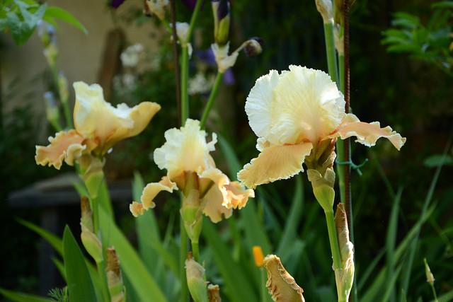 Iris 'English Charm' - Barry Blyth 1989 32557789735_91ddc04211_z