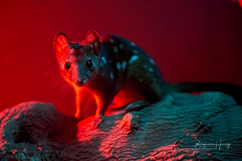 Adelaide Zoo Spotted Quoll | by boxyinfinity
