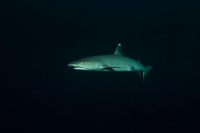 the shark - the sharks
