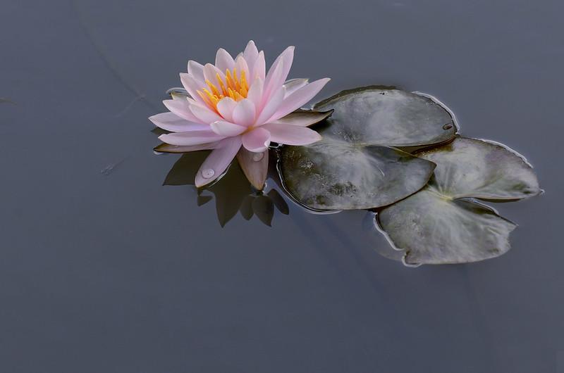 Обои листья, вода, кувшинка, нимфея, водяная лилия картинки на рабочий стол, раздел цветы - скачать