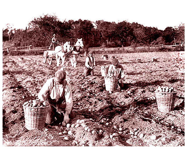 Picking Potatoes, Jamaica, Queens -- 1916