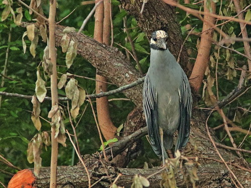Yellow-crowned Night-Heron at clear-cut edge 2-20181202