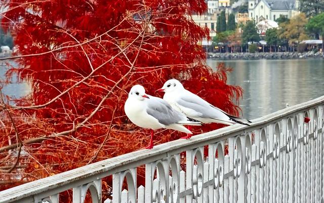 Montreux autumn and birds.