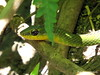 "Serpiente lagartijera lisa de montaña / Striped lizard-eating snake  ""Mastigodryas dorsalis"" by Erick Manuel Hernandez /Observador de Aves de El S"