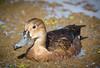 Pato picazo hembra / Female picazo duck by Nacho Gismondi