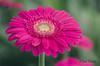 Pink ! by Rene Mensen