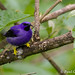 Purple Honeycreeper by pgloyer