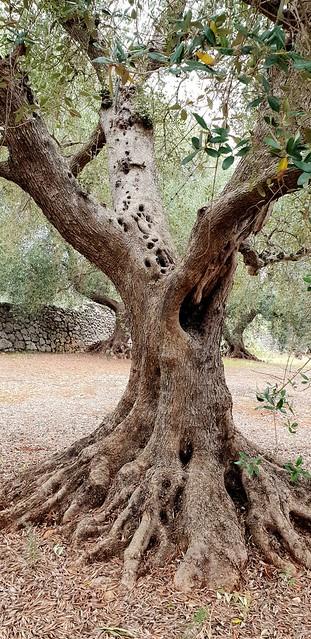 Olive Trres