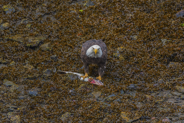 Bald Eagle with Salmon 2