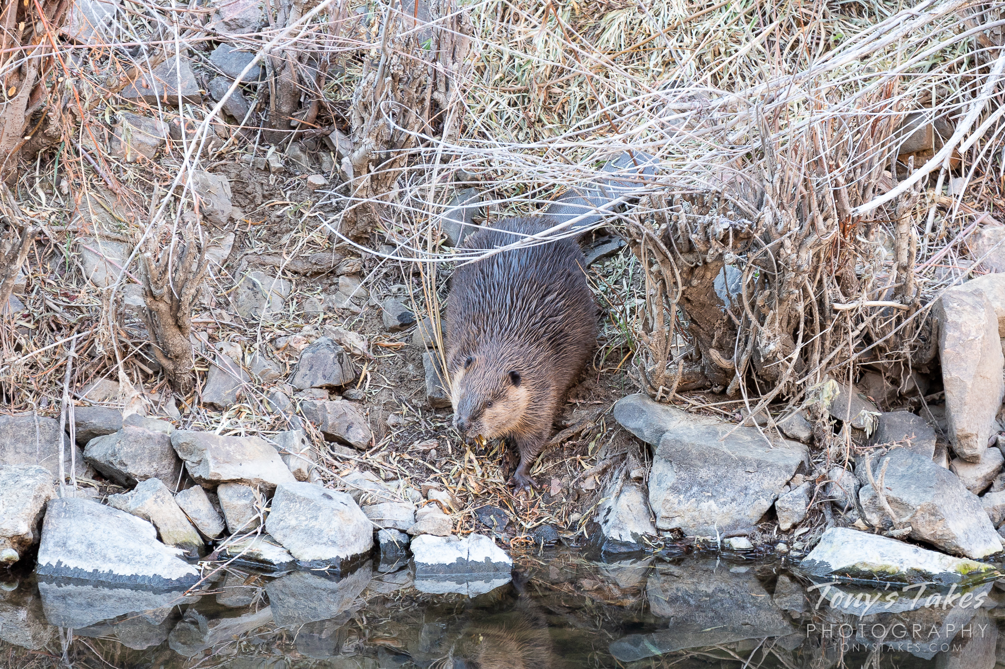 A beaver gathers building material along the South Platte River. (© Tony's Takes)
