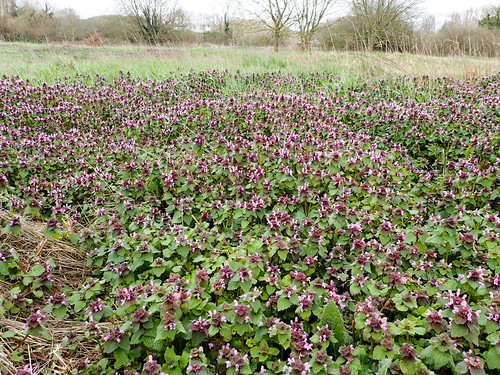Red dead-nettle,Lamium purpureum, on the old fairways. | by mickmassie