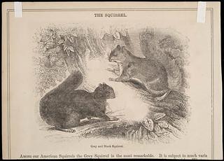 The Squirrel: grey and black varieties / L'écureuil : variétés grise et noire