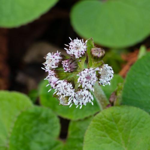 Butterbur flowering, mid-December
