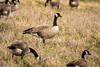 Canada Goose (Branta canadensis) by Brown Acres Mark