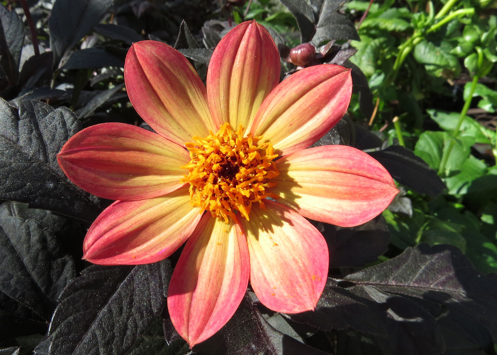 Flame Happy Single Dahlia Found At Home Depot Garden Store Flickr