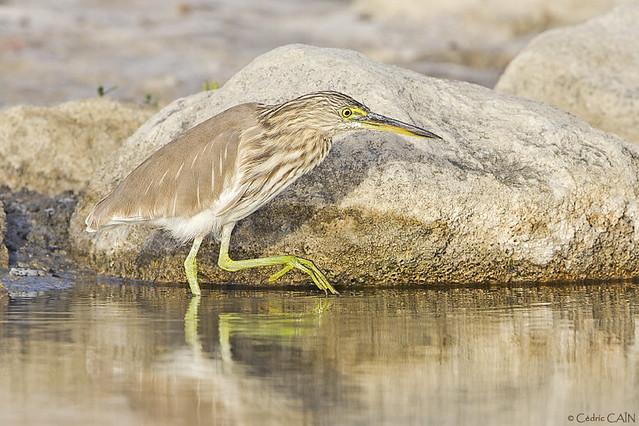 Crabier de Gray, Ardeola grayii, Indian Pond Heron