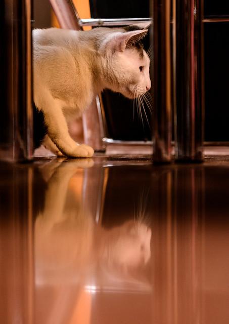 Blau, gato cruce Snowshoe nacido en enero´17 esterilizado, apto para gatos machos, en adopción. Valencia. 46157698342_d3043d94b0_z