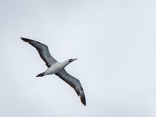 Masked Booby in flight   by Ed Rosack