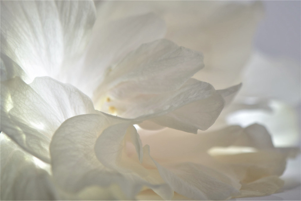 Light shows what is concealed to our eyes   -   Triple Hibiscus flower