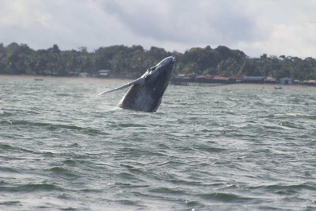 Ballenas jorobadas conviven entre basuras y embarcaciones